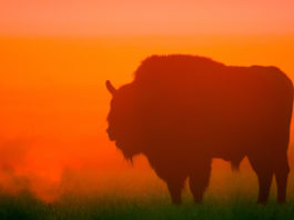 Project Bison